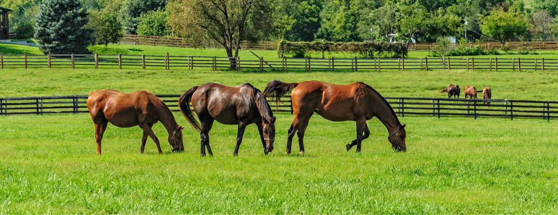 Horses graze in an open pasture.